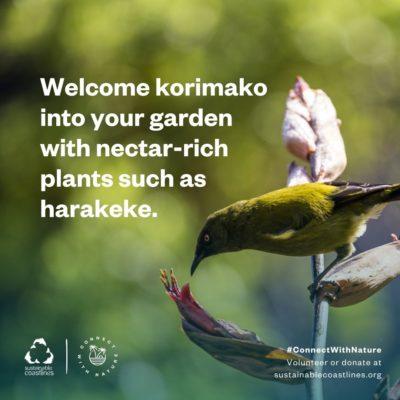 Urban nature_Fact_Encourage korimako