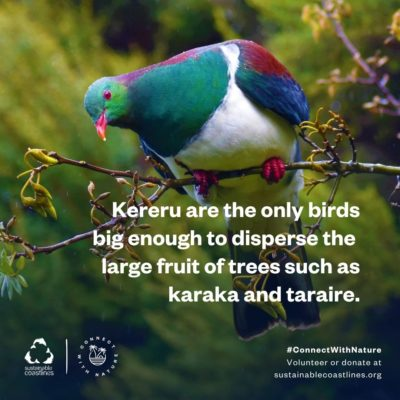 Urban nature_Fact_kereru